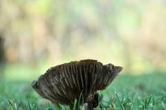 Champinjon som växer på gräsmatta arkivbilder