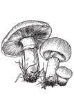 Champinjon vektor, teckning, gravyr, illustration som är gemensam, fält, champignon royaltyfri illustrationer