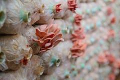 Champinjonen växer upp i plast- flaskor Fotografering för Bildbyråer