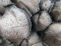 champinjoner Arkivbilder