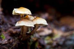 champinjoner Royaltyfria Bilder