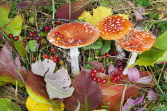 champinjoner för leaves för höstbakgrundsbär arkivfoto