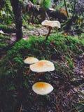 Champinjoner i den British Columbia skogen Arkivbilder