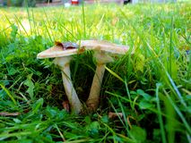 Champinjoner i det gröna gräset i höstängen royaltyfria bilder
