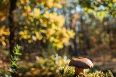Champinjoner i Forest Scene royaltyfri foto