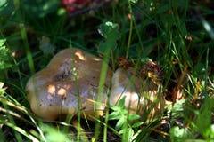 Champinjoner i gräs arkivfoton
