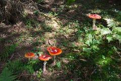 Champinjoner i gräs i skog Arkivfoto