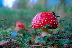 Champinjoner i höstskogen, flugsvamp royaltyfria foton