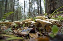Champinjoner i skog Arkivbild