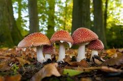 Champinjoner i skog Royaltyfri Foto