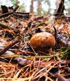 Champinjoner i skog Arkivfoto
