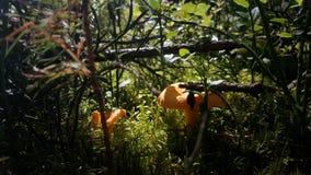 Champinjoner i skog Arkivbilder