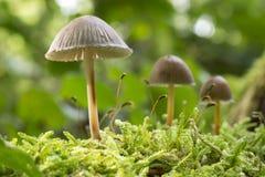 Champinjoner i skog i hösten i Nederländerna Royaltyfri Bild