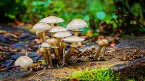 Champinjoner i skogen arkivbilder