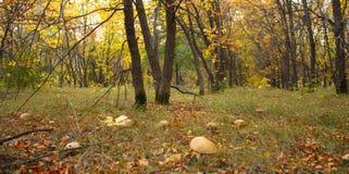Champinjoner i skogen Royaltyfri Bild
