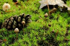 Champinjoner (Marasmiusandrosaceus) Royaltyfria Foton