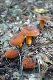 Champinjoner med orange hattar och ben Arkivbild