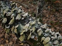Champinjoner och svamp som växer på en stupad trädlem Arkivbilder