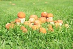 Champinjoner - orange björkBolete Arkivbilder