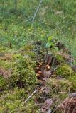 Champinjoner på en gammal trädstubbe arkivfoton