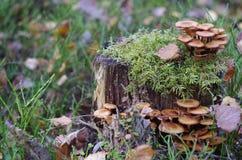 Champinjoner på en stubbe i höstskogen Arkivbilder