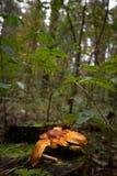 Champinjoner på en trädstubbe Arkivfoto