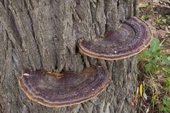 Champinjoner på ett träd. Arkivfoton