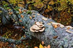Champinjoner på ett träd knuffar till i en höstskog Royaltyfri Foto