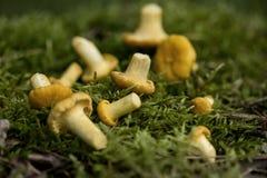 Champinjoner på Moss Arkivfoton