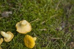 Champinjoner på Moss Royaltyfria Bilder