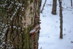Champinjoner på mossigt träd i vinter arkivfoton