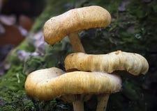 Champinjoner på mossy tree Arkivfoto