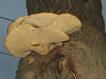Champinjoner på träd arkivbilder