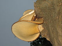 Champinjoner på träd royaltyfria bilder