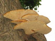 Champinjoner på träd arkivbild