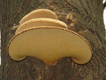 Champinjoner på träd arkivfoton