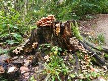 Champinjoner på trädstubbe i skogen med mossa Royaltyfri Fotografi