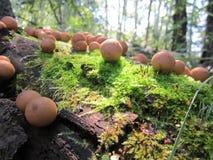 Champinjoner runda plocka svamp, familjen av svampar, champinjoner i skogen, champinjoner på ett träd Royaltyfri Bild