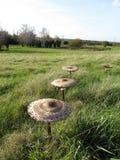 Champinjoner som växer i gräs Arkivbild