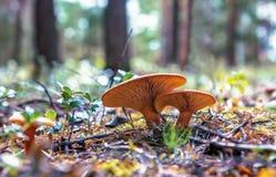Champinjoner som växer i skogen Royaltyfri Fotografi