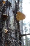 Champinjoner som växer på en closeup för trädstam Arkivfoto