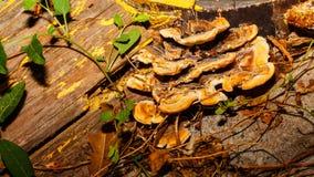 Champinjoner som växer på en trädstam Arkivbild