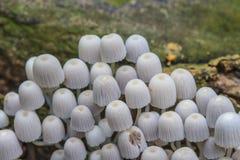Champinjoner som växer på ett levande träd i skogen Arkivbilder