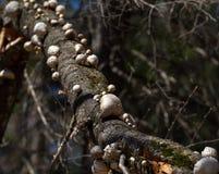 Champinjoner som växer på gammal trädfilial royaltyfri fotografi
