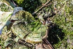 Champinjoner som växer på sidan av ett träd Royaltyfri Bild