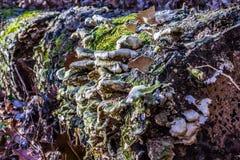 Champinjoner som växer på sidan av ett träd Arkivfoton