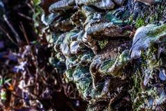 Champinjoner som växer på sidan av ett träd Royaltyfri Fotografi