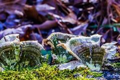 Champinjoner som växer på sidan av ett träd Arkivfoto