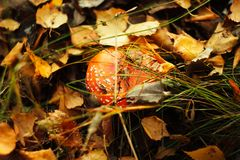 Champinjonflugsvamp i höstskogen arkivbild