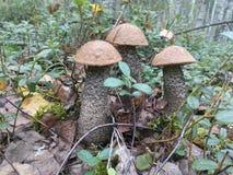 ChampinjonLeccinum i skogen arkivbild